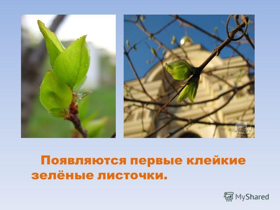 Появляются первые клейкие зелёные листочки.