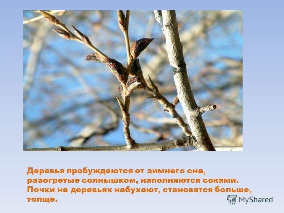 Деревья пробуждаются от зимнего сна, разогретые солнышком, наполняются соками. Почки на деревьях набухают, становятся больше, толще.