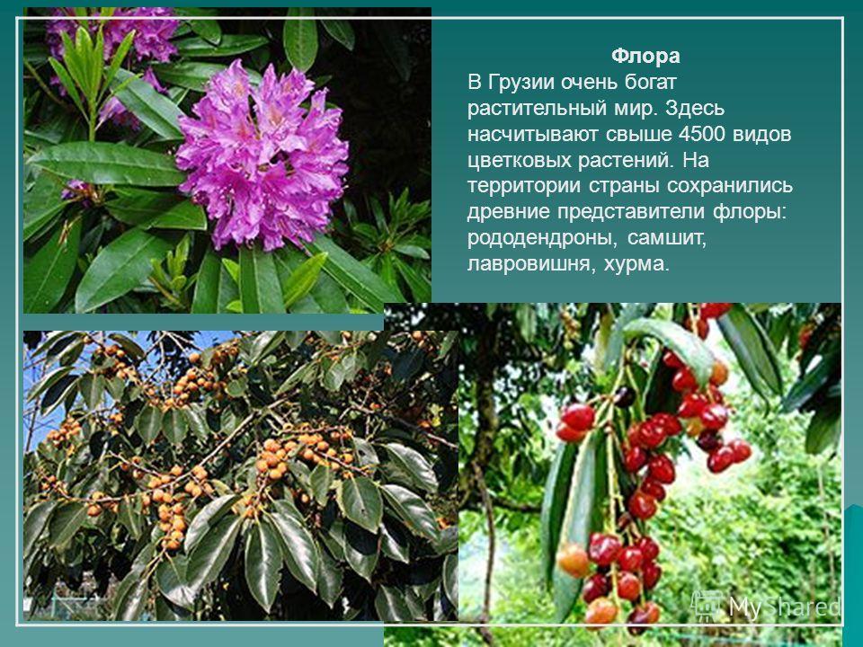 Флора В Грузии очень богат растительный мир. Здесь насчитывают свыше 4500 видов цветковых растений. На территории страны сохранились древние представители флоры: рододендроны, самшит, лавровишня, хурма.