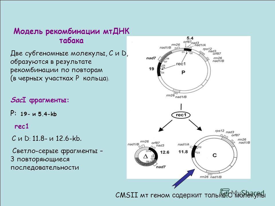 Модель рекомбинации мтДНК табака Две субгеномные молекулы, C и D, образуются в результате рекомбинации по повторам (в черных участках P кольца ). SacI фрагменты: P: 19- и 5.4-kb rec1 C и D : 11.8- и 12.6-kb. Светло-серые фрагменты – 3 повторяющиеся п
