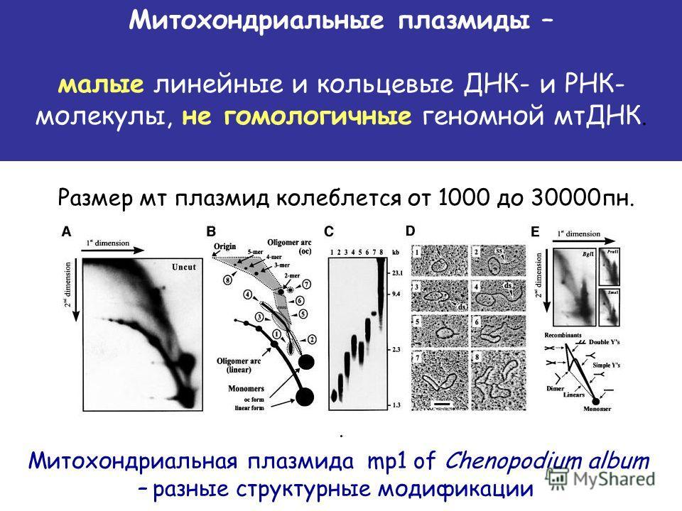. Митохондриальные плазмиды – малые линейные и кольцевые ДНК- и РНК- молекулы, не гомологичные геномной мтДНК. Размер мт плазмид колеблется от 1000 до 30000 пн. Митохондриальная плазмида mp1 of Chenopodium album – разные структурные модификации