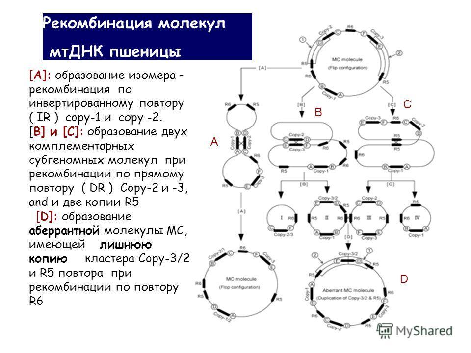 [A]: образование изомера – рекомбинация по инвертированному повтору ( IR ) copy-1 и соpy -2. [B] и [C]: образование двух комплементарных субгеномных молекул при рекомбинации по прямому повтору ( DR ) Copy-2 и -3, and и две копии R5 [D]: образование а