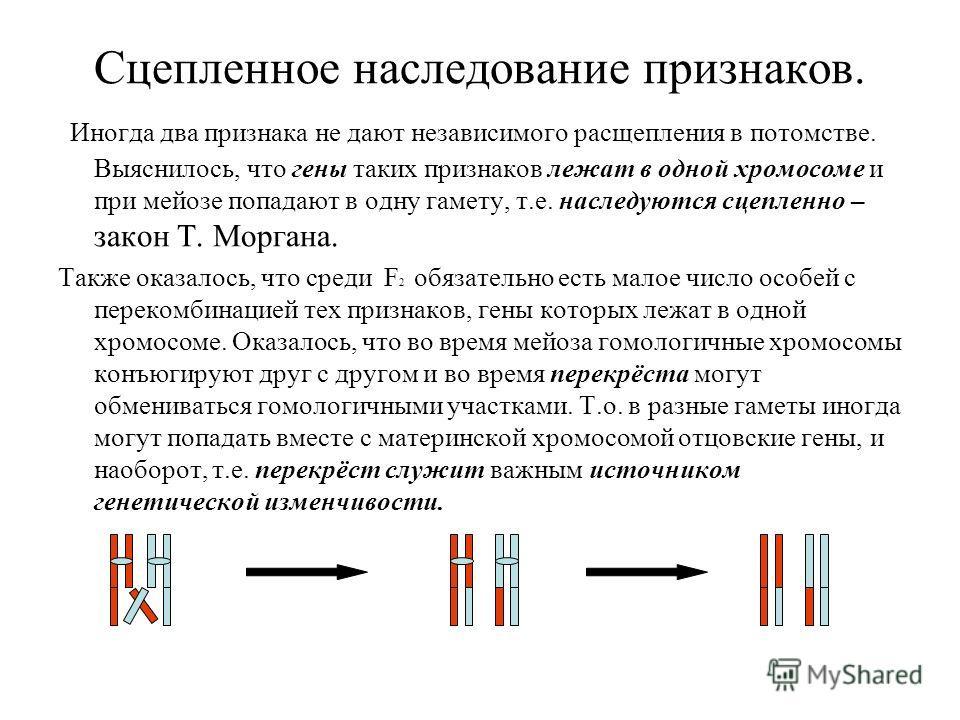 Сцепленное наследование признаков. И ногда два признака не дают независимого расщепления в потомстве. Выяснилось, что гены таких признаков лежат в одной хромосоме и при мейозе попадают в одну гамету, т.е. наследуются сцепленно – закон Т. Моргана. Так