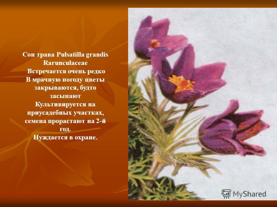 Сон трава Pulsatilla grandis Rarunculaceae Встречается очень редко В мрачную погоду цветы закрываются, будто засыпают Культивируется на приусадебных участках, семена прорастают на 2-й год. Нуждается в охране.