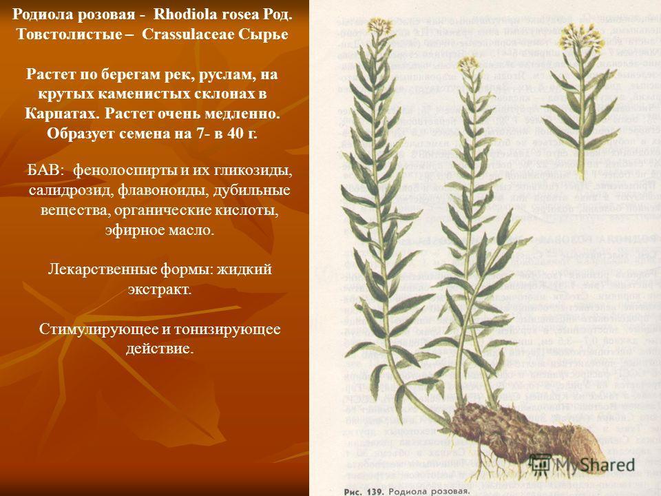 Родиола розовая - Rhodiola rosea Род. Товстолистые – Crassulaceae Сырье Растет по берегам рек, руслам, на крутых каменистых склонах в Карпатах. Растет очень медленно. Образует семена на 7- в 40 г. БАВ: фенолоспирты и их гликозиды, салидрозид, флавоно