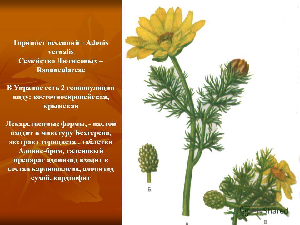 Горицвет весенний – Adonis vernalis Семейство Лютиковых – Ranunculaceae В Украине есть 2 геопопуляции виду: восточноевропейская, крымская Лекарственные формы, - настой входит в микстуру Бехтерева, экстракт горицвета, таблетки Адонис-бром, галеновый п