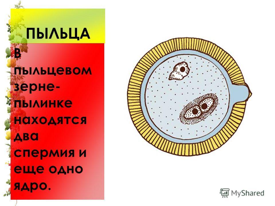 ПЫЛЬЦА В пыльцевом зерне- пылинке находятся два спермия и еще одно ядро.