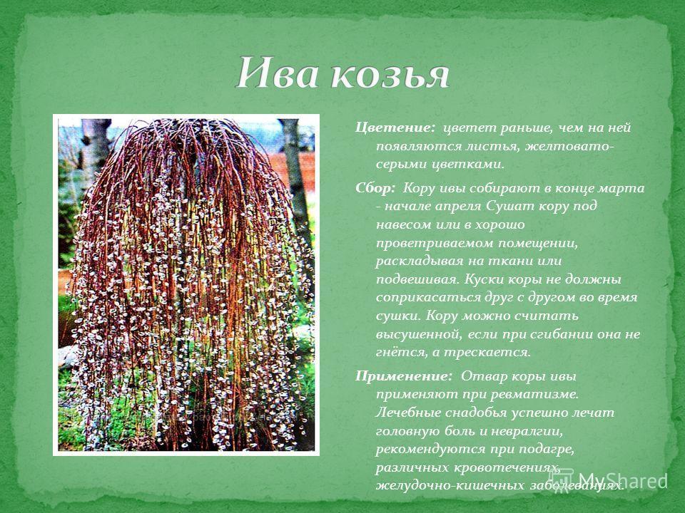 Цветение: цветет раньше, чем на ней появляются листья, желтовато- серыми цветками. Сбор: Кору ивы собирают в конце марта - начале апреля Сушат кору под навесом или в хорошо проветриваемом помещении, раскладывая на ткани или подвешивая. Куски коры не