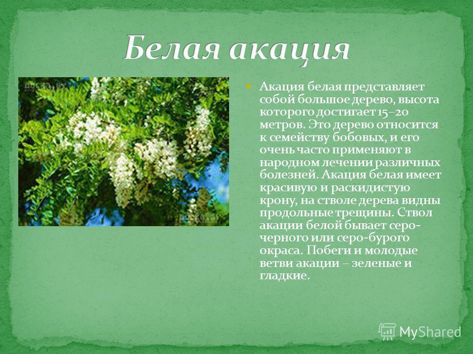 Акация белая представляет собой большое дерево, высота которого достигает 15–20 метров. Это дерево относится к семейству бобовых, и его очень часто применяют в народном лечении различных болезней. Акация белая имеет красивую и раскидистую крону, на с