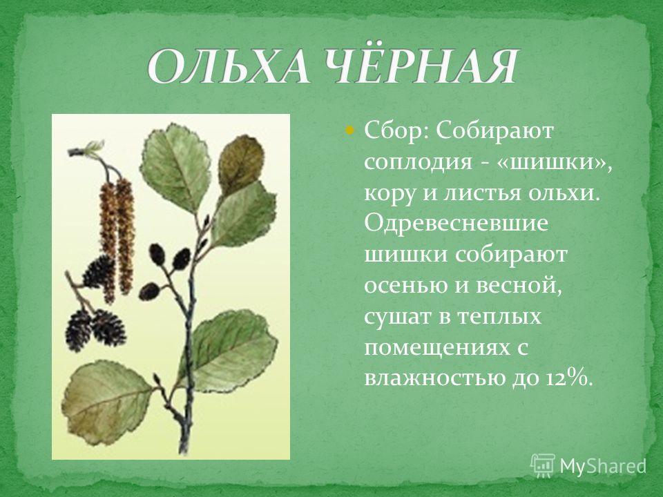 Сбор: Собирают соплодия - «шишки», кору и листья ольхи. Одревесневшие шишки собирают осенью и весной, сушат в теплых помещениях с влажностью до 12%.