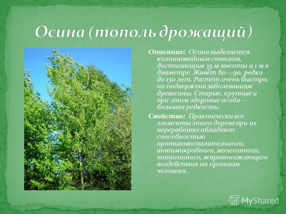 Описание: Осина выделяется колонновидным стволом, достигающим 35 м высоты и 1 м в диаметре. Живёт 8090, редко до 150 лет. Растёт очень быстро, но подвержена заболеваниям древесины. Старые, крупные и при этом здоровые особи большая редкость. Свойства: