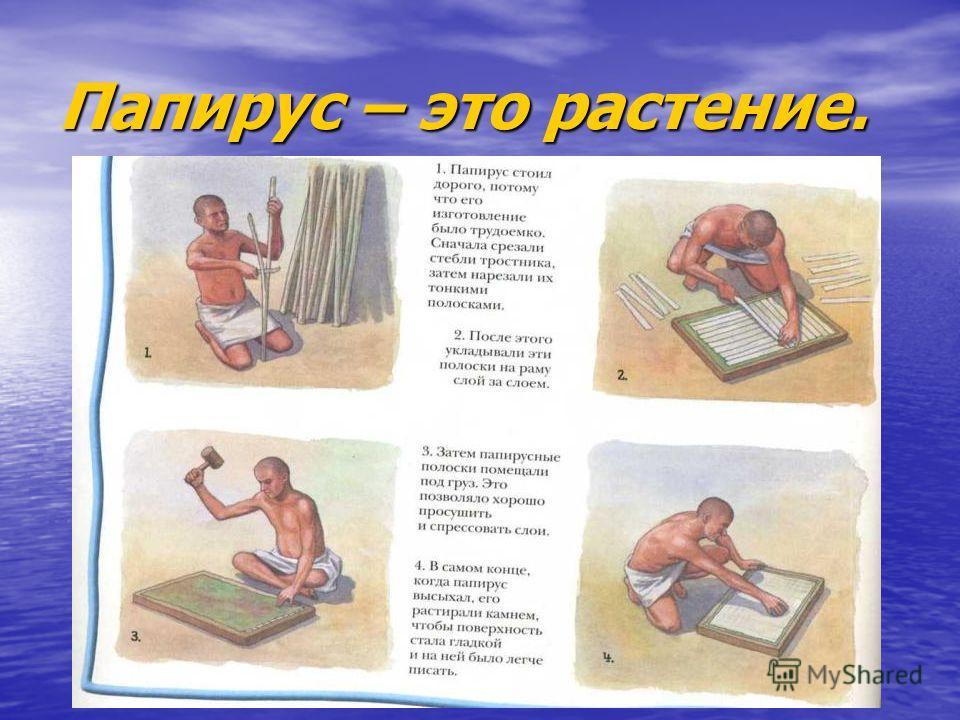 Папирус – это растение.