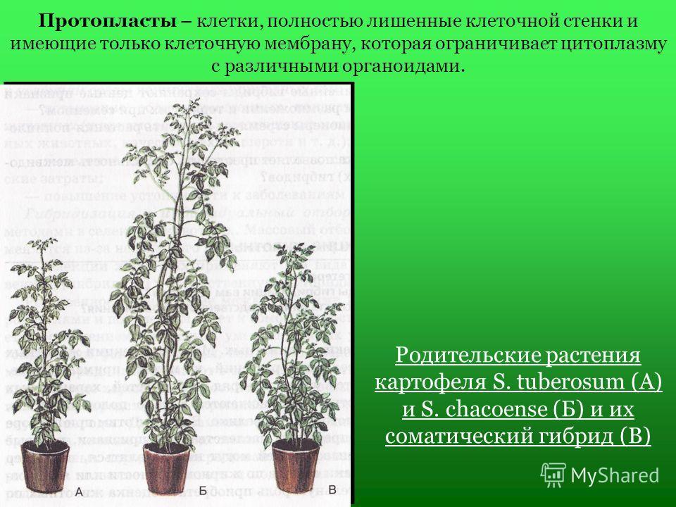 Протопласты – клетки, полностью лишенные клеточной стенки и имеющие только клеточную мембрану, которая ограничивает цитоплазму с различными органоидами. Родительские растения картофеля S. tuberosum (А) и S. chacoense (Б) и их соматический гибрид (В)