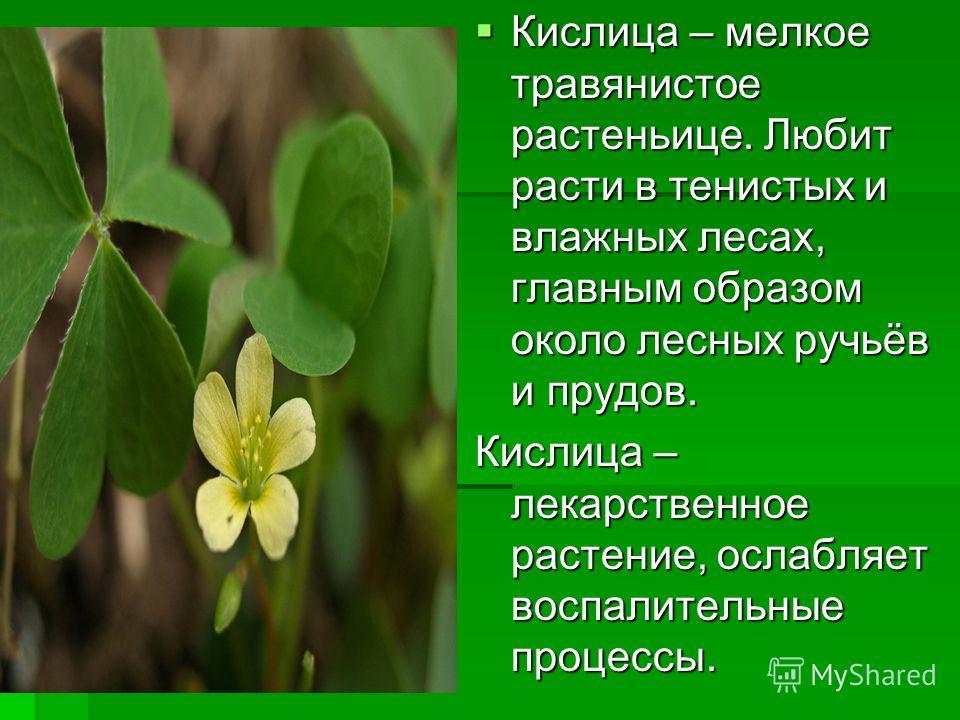 Кислица – мелкое травянистое растеньице. Любит расти в тенистых и влажных лесах, главным образом около лесных ручьёв и прудов. Кислица – мелкое травянистое растеньице. Любит расти в тенистых и влажных лесах, главным образом около лесных ручьёв и пруд