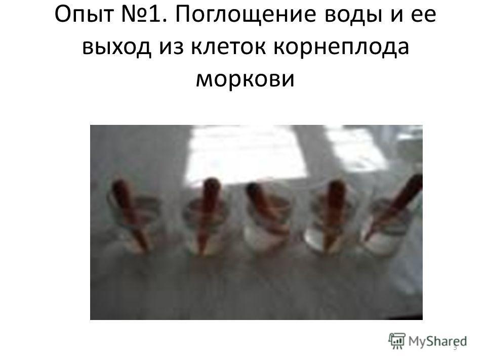 3 Опыт 1. Поглощение воды и ее выход из клеток корнеплода моркови