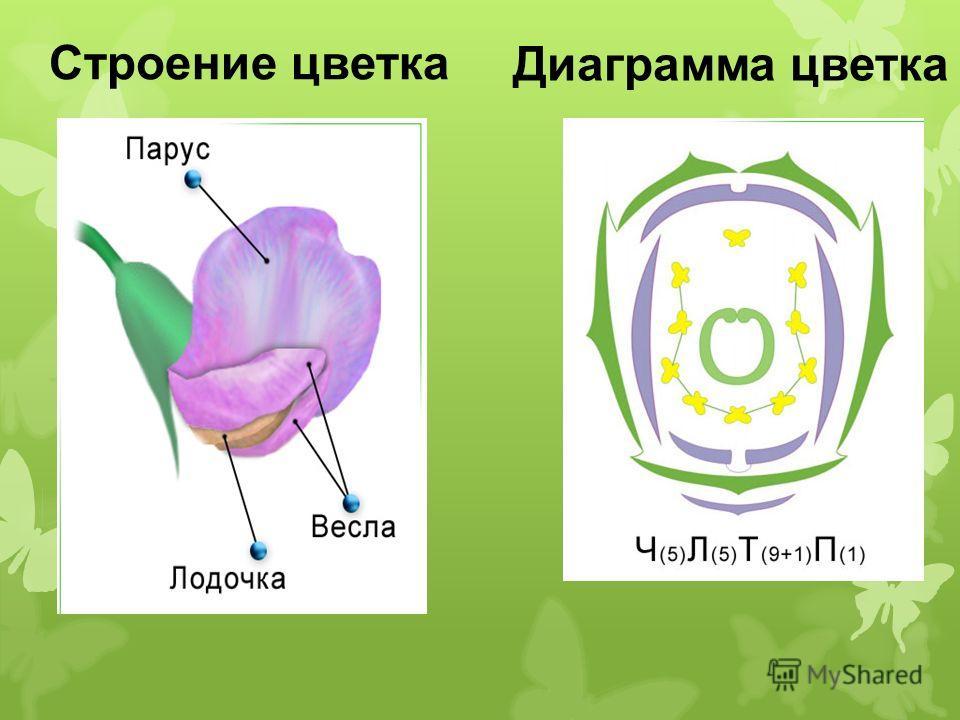Строение цветка Диаграмма цветка