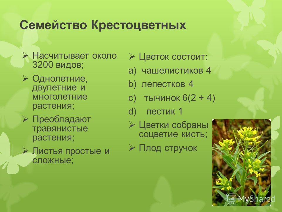 Семейство Крестоцветных Насчитывает около 3200 видов; Однолетние, двулетние и многолетние растения; Преобладают травянистые растения; Листья простые и сложные; Цветок состоит: a) чашелистиков 4 b) лепестков 4 c) тычинок 6(2 + 4) d) пестик 1 Цветки со