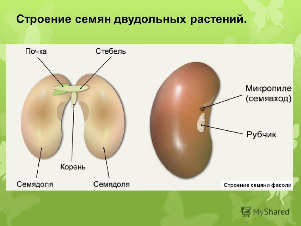 Строение семян двудольных растений.