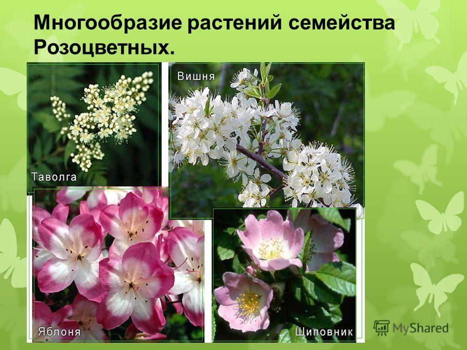 Многообразие растений семейства Розоцветных.