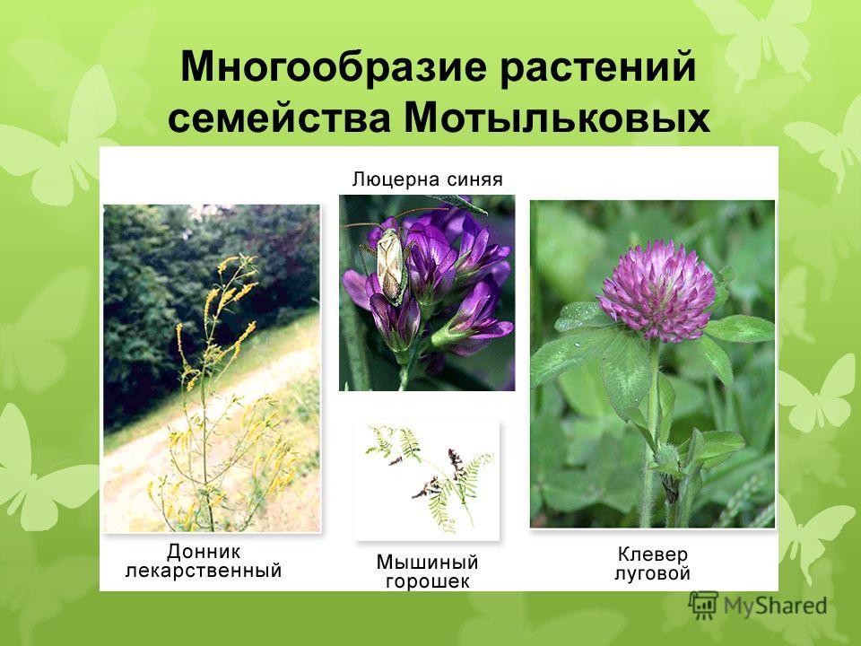 Многообразие растений семейства Мотыльковых