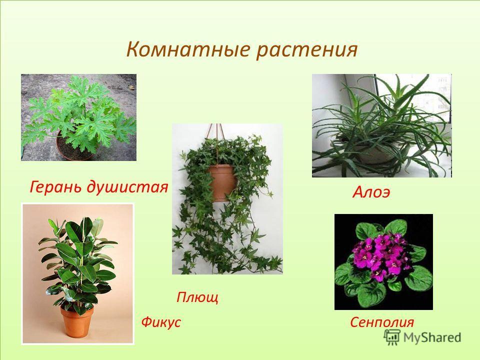 Комнатные растения Алоэ Плющ Фикус Сенполия Комнатные растения Алоэ Плющ Фикус Сенполия Герань душистая