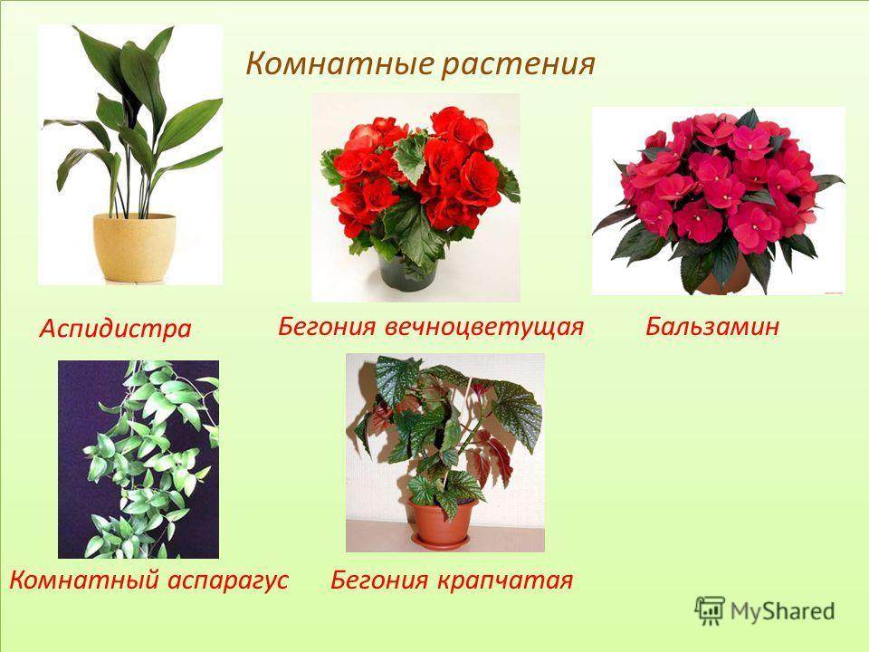 Комнатные растения Бегония вечноцветущая Бальзамин Комнатный аспарагус Бегония крапчатая Комнатные растения Бегония вечноцветущая Бальзамин Комнатный аспарагус Бегония крапчатая Аспидистра