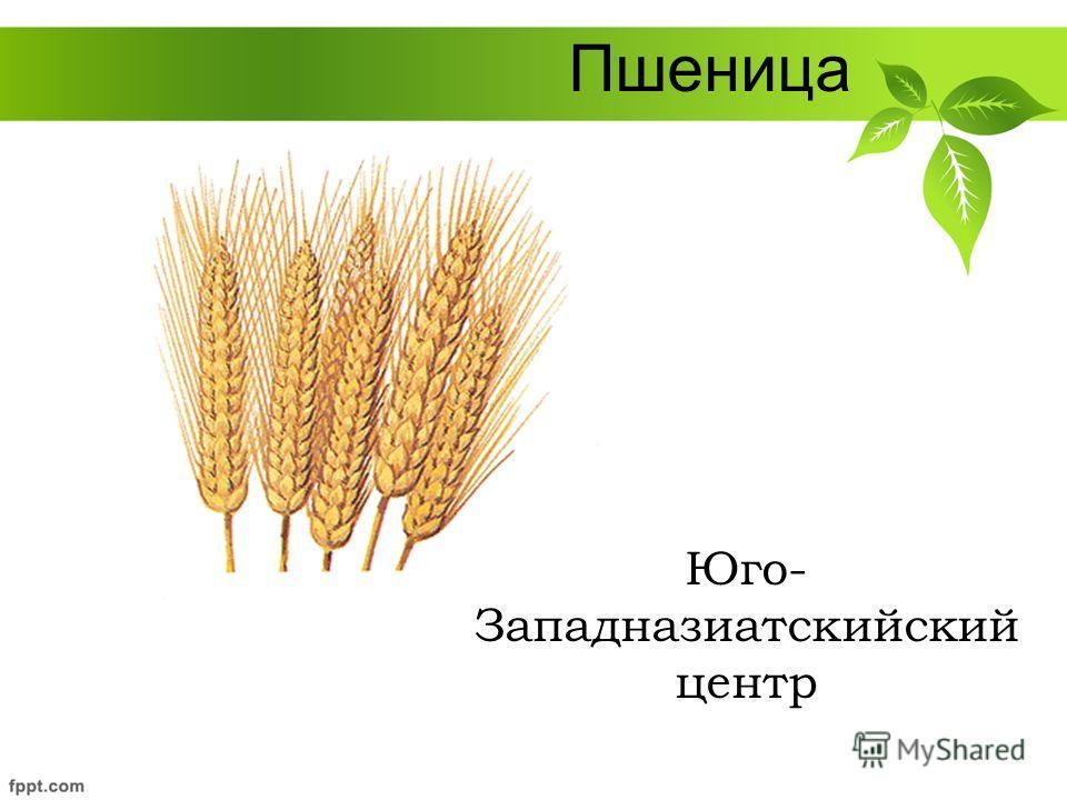 Пшеница Юго- Западназиатскийский центр