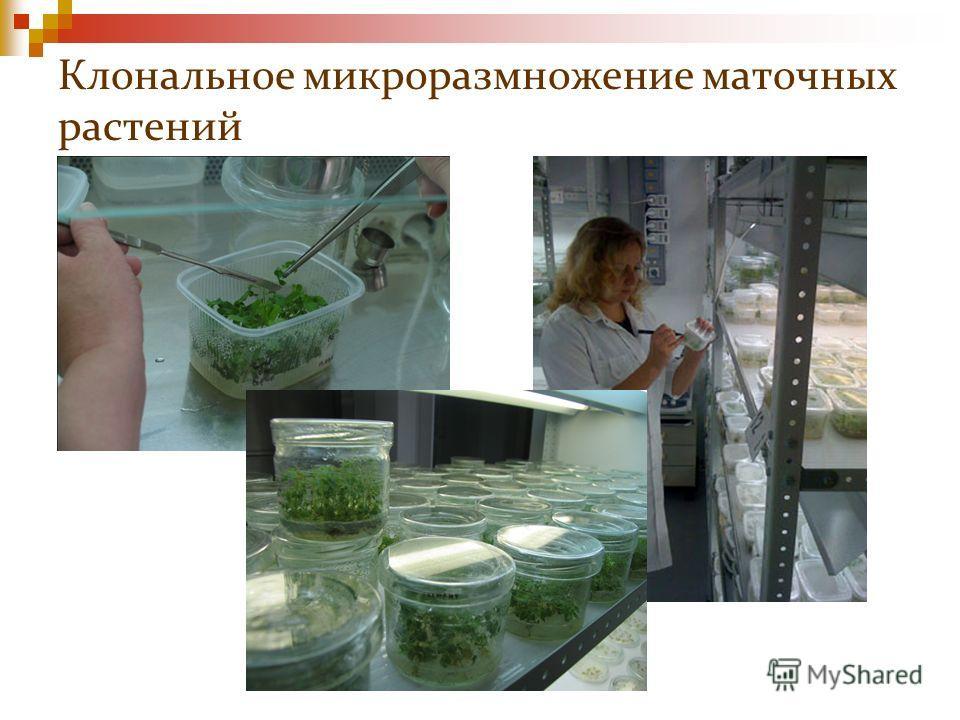 Клональное микроразмножение маточных растений