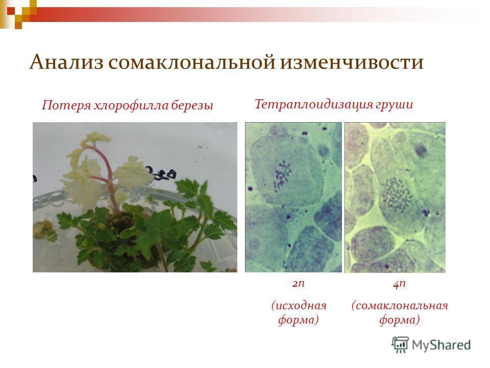 Анализ сомаклональной изменчивости Потеря хлорофилла березы Тетраплоидизация груши 2n (исходная форма) 4n (сомаклональная форма)