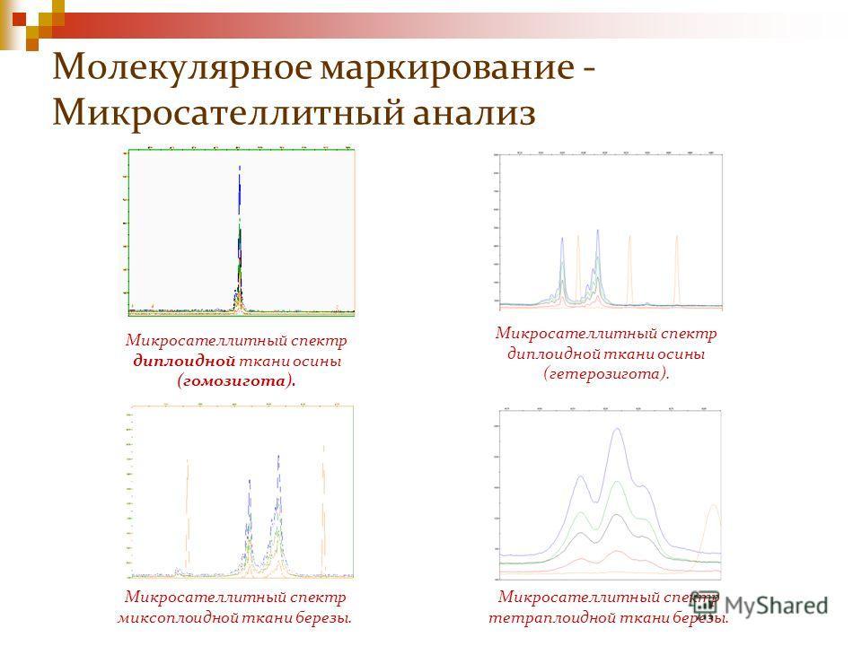 Молекулярное маркирование - Микросателлитный анализ Микросателлитный спектр диплоидной ткани осины (гомозигота). Микросателлитный спектр диплоидной ткани осины (гетерозигота). Микросателлитный спектр миксоплоидной ткани березы. Микросателлитный спект