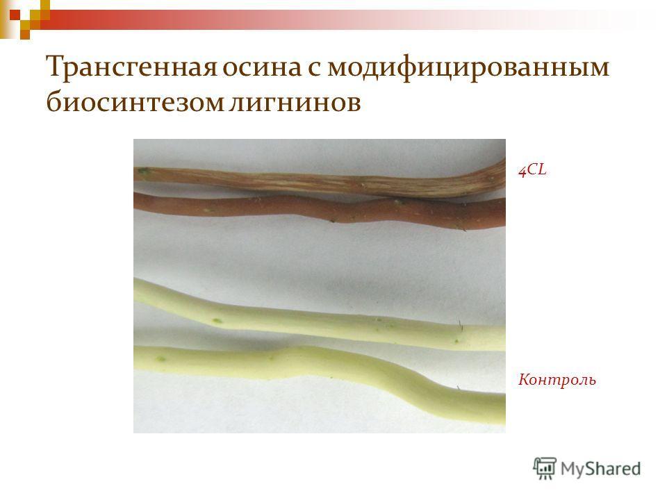 4CL Контроль Трансгенная осина с модифицированным биосинтезом лигнинов