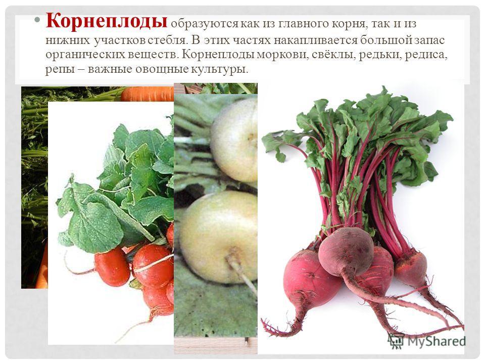 Корнеплоды образуются как из главного корня, так и из нижних участков стебля. В этих частях накапливается большой запас органических веществ. Корнеплоды моркови, свёклы, редьки, редиса, репы – важные овощные культуры.