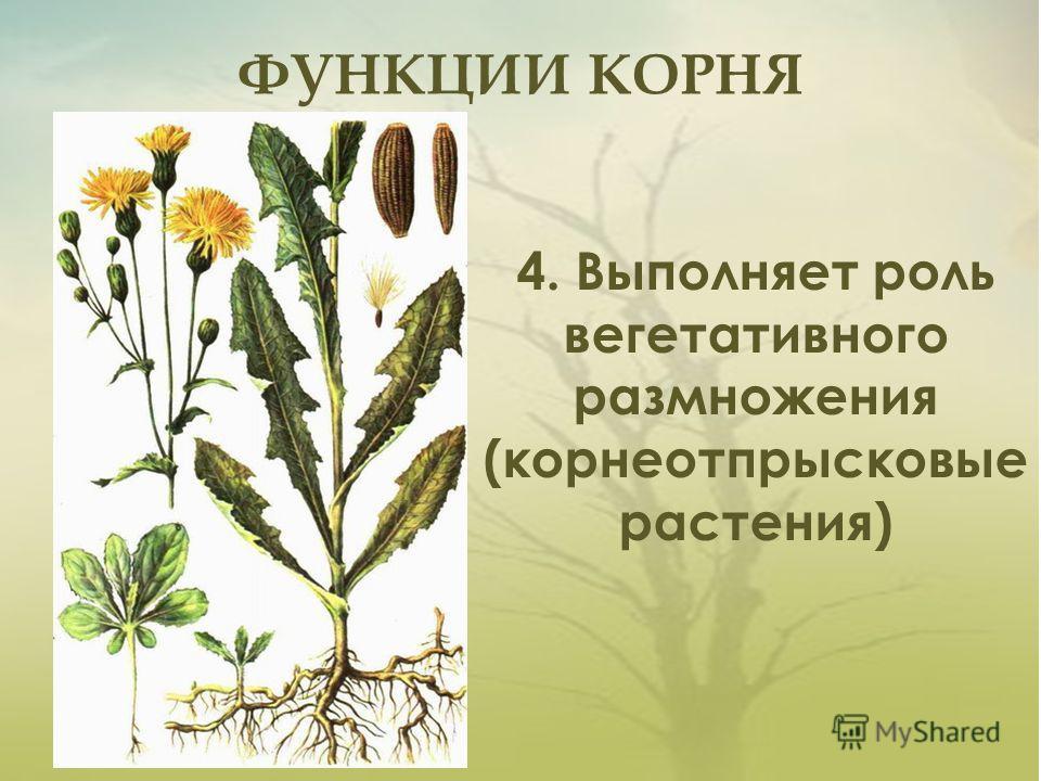ФУНКЦИИ КОРНЯ 4. Выполняет роль вегетативного размножения (корнеотпрысковые растения)