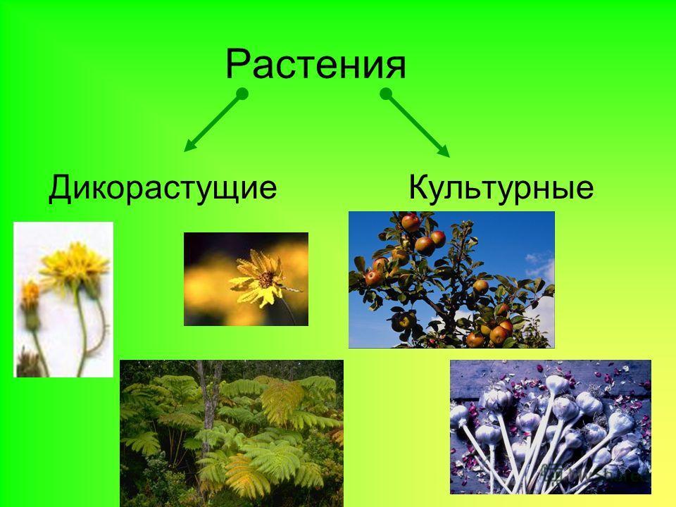 Презентация На Тему Культурные Растения