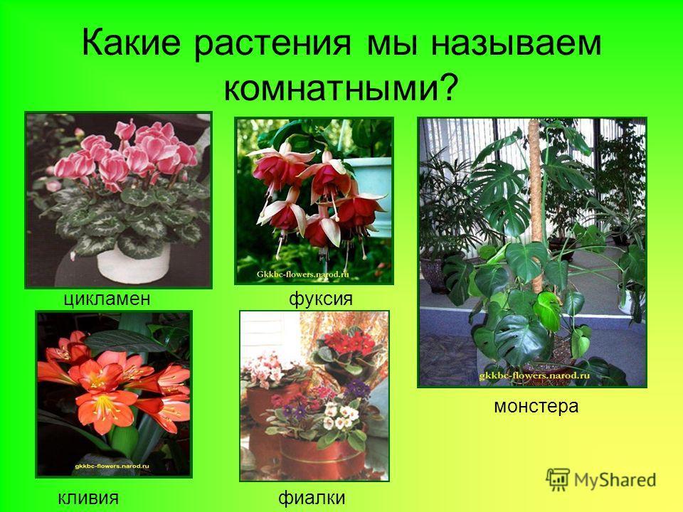 Какие растения мы называем комнатными? цикламенфуксия монстера кливияфиалки