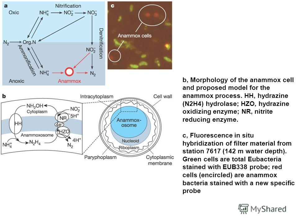 b, Morphology of the anammox cell and proposed model for the anammox process. HH, hydrazine (N2H4) hydrolase; HZO, hydrazine oxidizing enzyme; NR, nitrite reducing enzyme. c, Fluorescence in situ hybridization of filter material from station 7617 (14