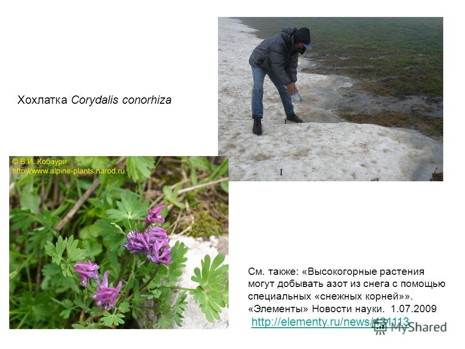 Хохлатка Corydalis conorhiza См. также: «Высокогорные растения могут добывать азот из снега с помощью специальных «снежных корней»». «Элементы» Новости науки. 1.07.2009 http://elementy.ru/news/431113