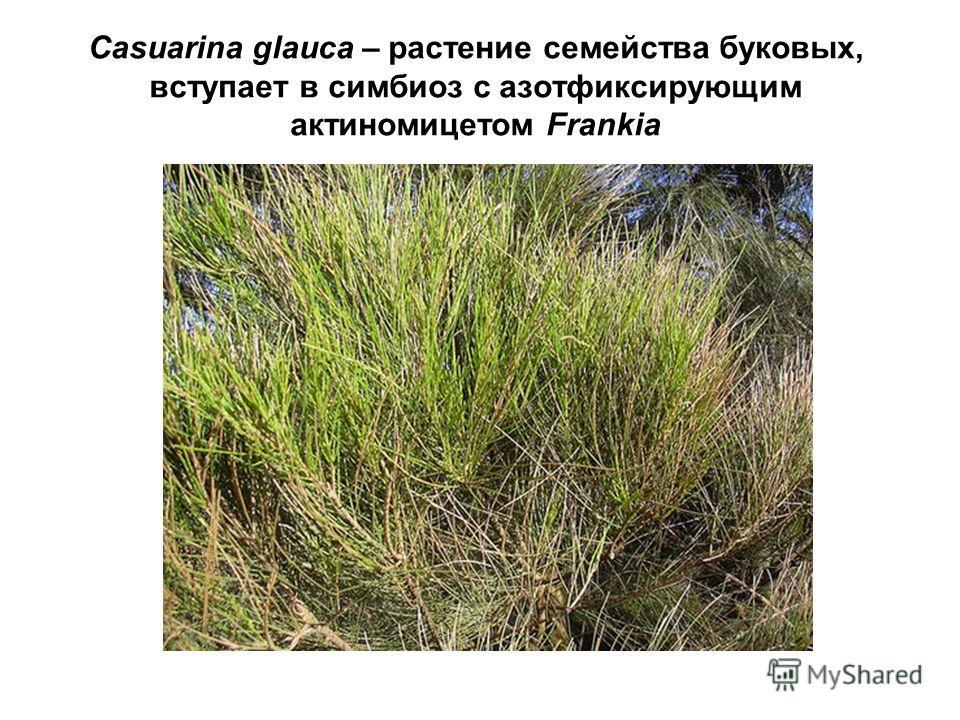 Casuarina glauca – растение семейства буковых, вступает в симбиоз с азотфиксирующим актиномицетом Frankia