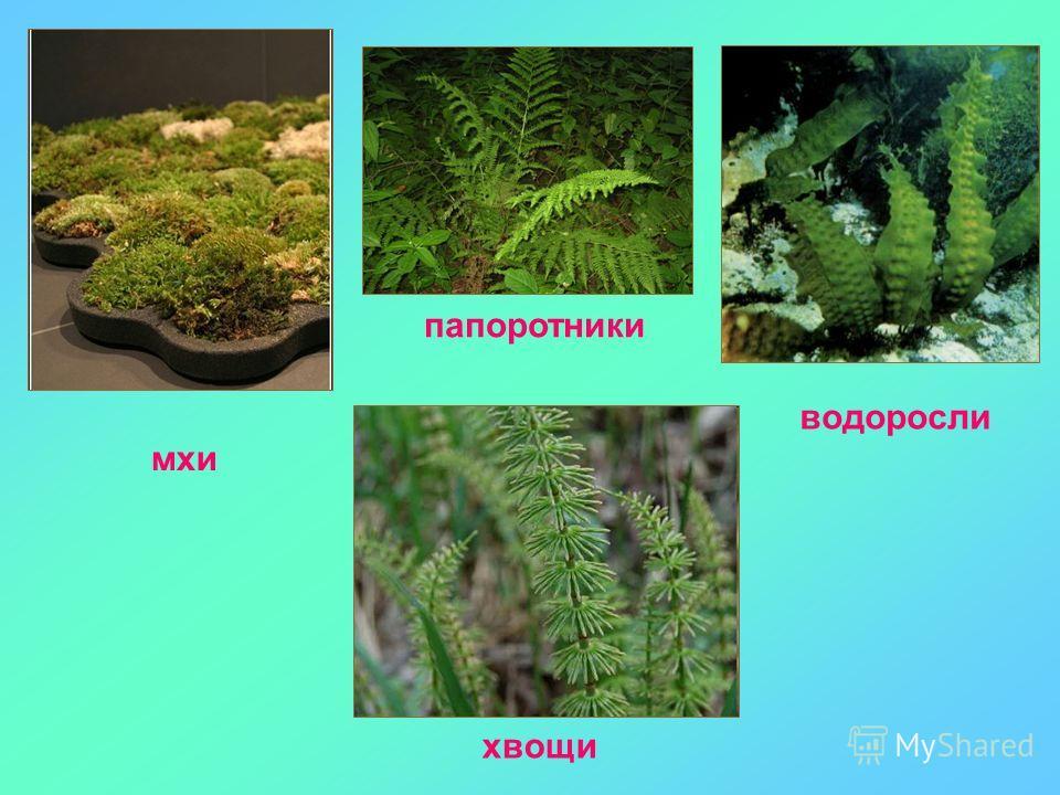 мхи водоросли хвощи папоротники