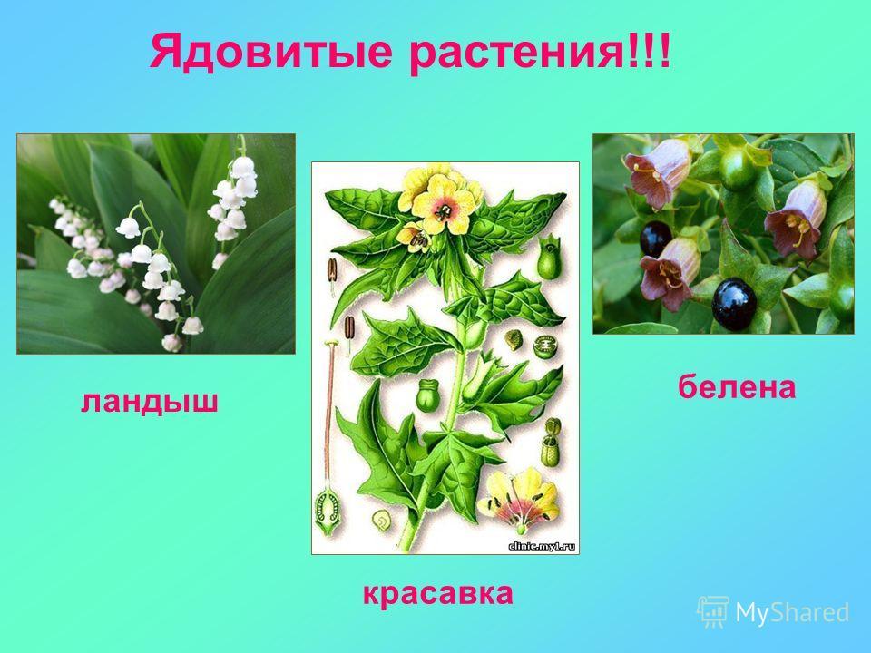 Ядовитые растения!!! ландыш красавка белена