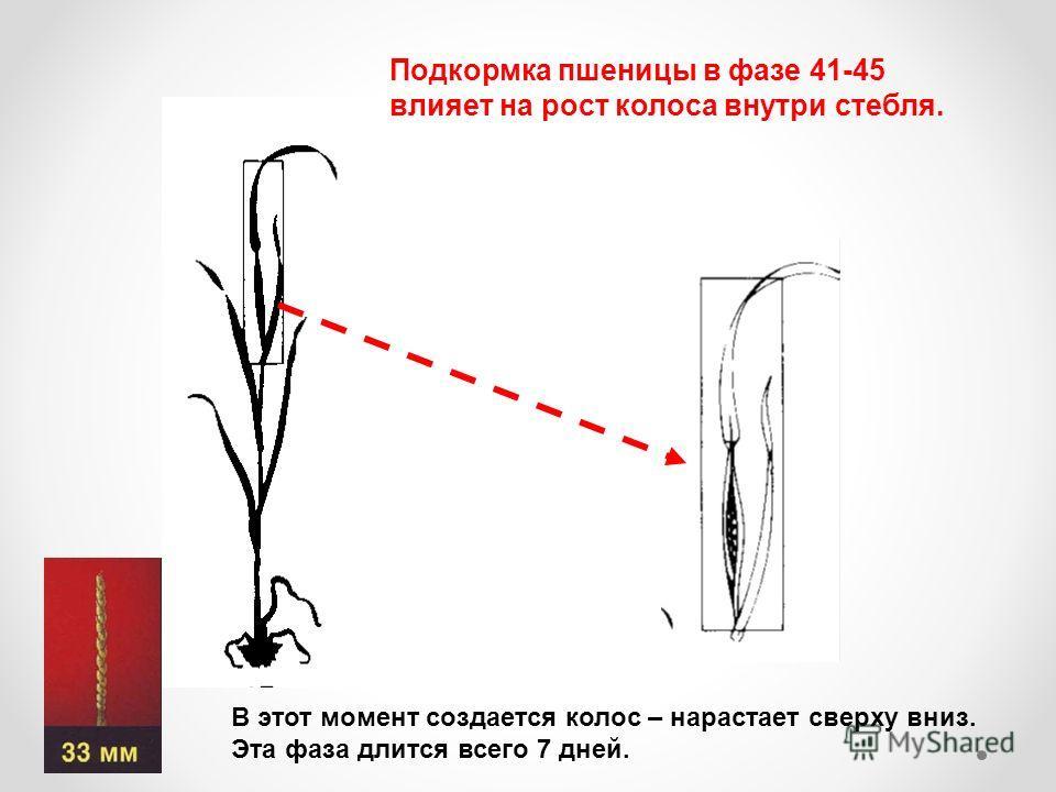 Подкормка пшеницы в фазе 41-45 влияет на рост колоса внутри стебля. В этот момент создается колос – нарастает сверху вниз. Эта фаза длится всего 7 дней.