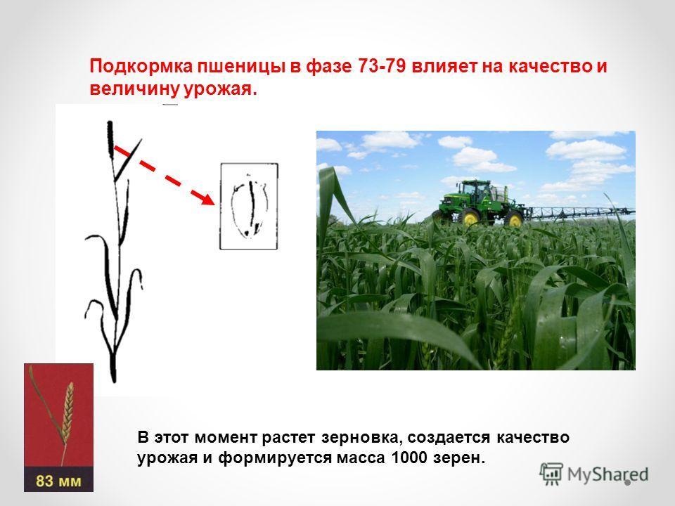 Подкормка пшеницы в фазе 73-79 влияет на качество и величину урожая. В этот момент растет зерновка, создается качество урожая и формируется масса 1000 зерен.