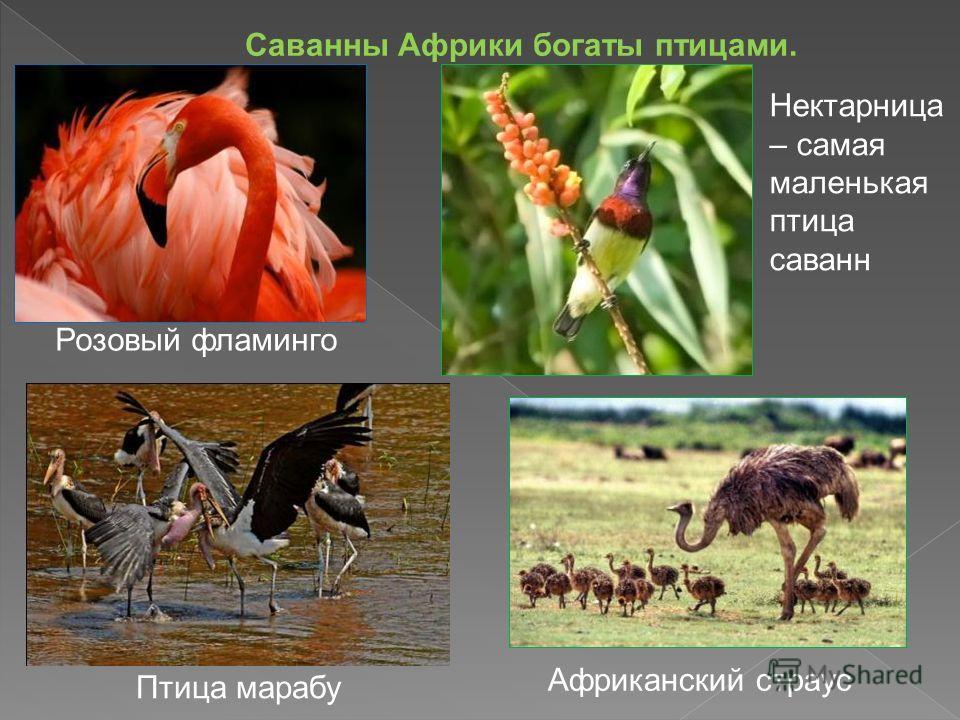 Саванны Африки богаты птицами. Розовый фламинго Африканский страус Птица марабу Нектарница – самая маленькая птица саванн