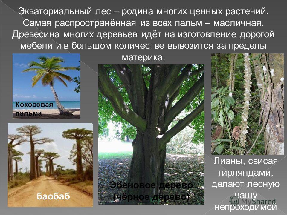 Экваториальный лес – родина многих ценных растений. Самая распространённая из всех пальм – масличная. Древесина многих деревьев идёт на изготовление дорогой мебели и в большом количестве вывозится за пределы материка. баобаб Эбеновое дерево (чёрное д