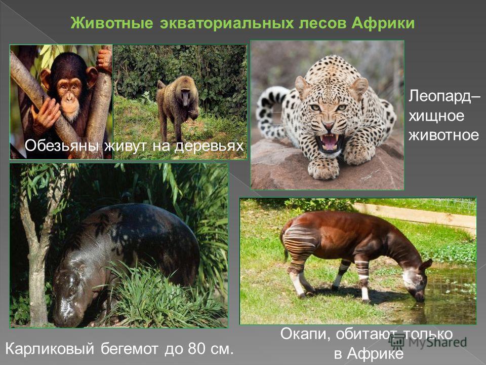Животные экваториальных лесов Африки Обезьяны живут на деревьях Леопард– хищное животное Карликовый бегемот до 80 см. Окапи, обитают только в Африке