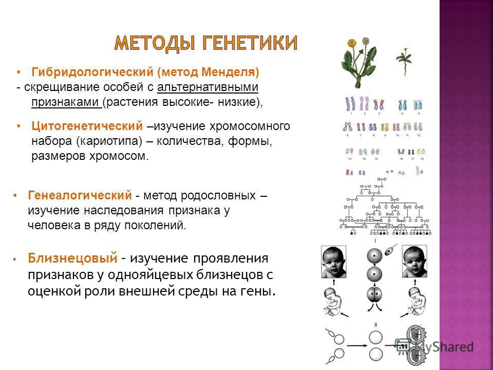 Близнецовый – изучение проявления признаков у однояйцевых близнецов с оценкой роли внешней среды на гены. Гибридологический (метод Менделя) - скрещивание особей с альтернативными признаками (растения высокие- низкие), Цитогенетический –изучение хромо
