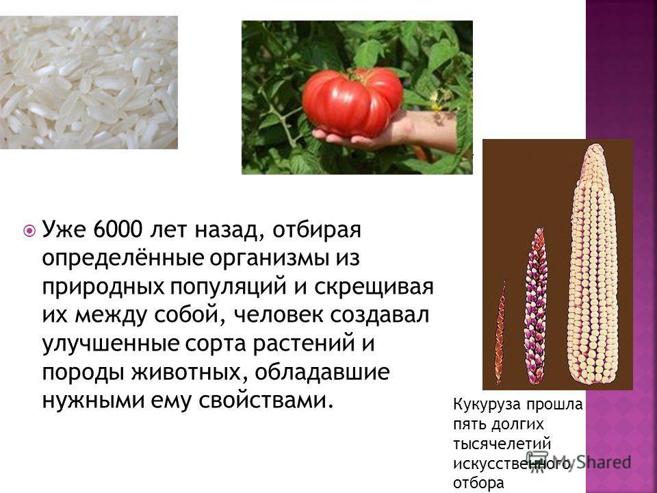Уже 6000 лет назад, отбирая определённые организмы из природных популяций и скрещивая их между собой, человек создавал улучшенные сорта растений и породы животных, обладавшие нужными ему свойствами. Кукуруза прошла пять долгих тысячелетий искусственн