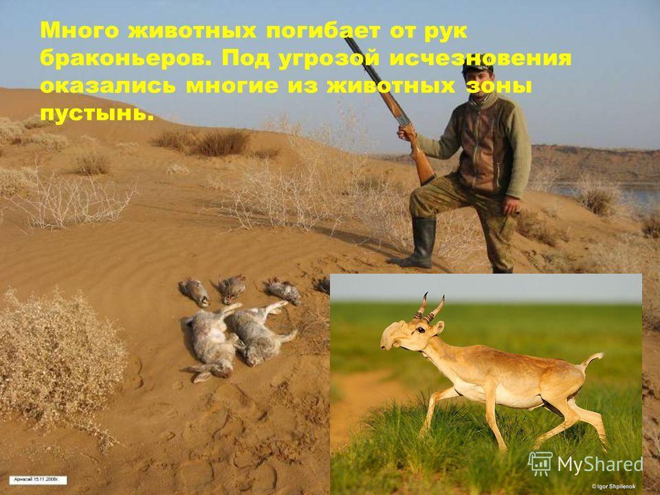 Много животных погибает от рук браконьеров. Под угрозой исчезновения оказались многие из животных зоны пустынь.