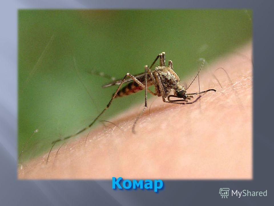 Комар Комар