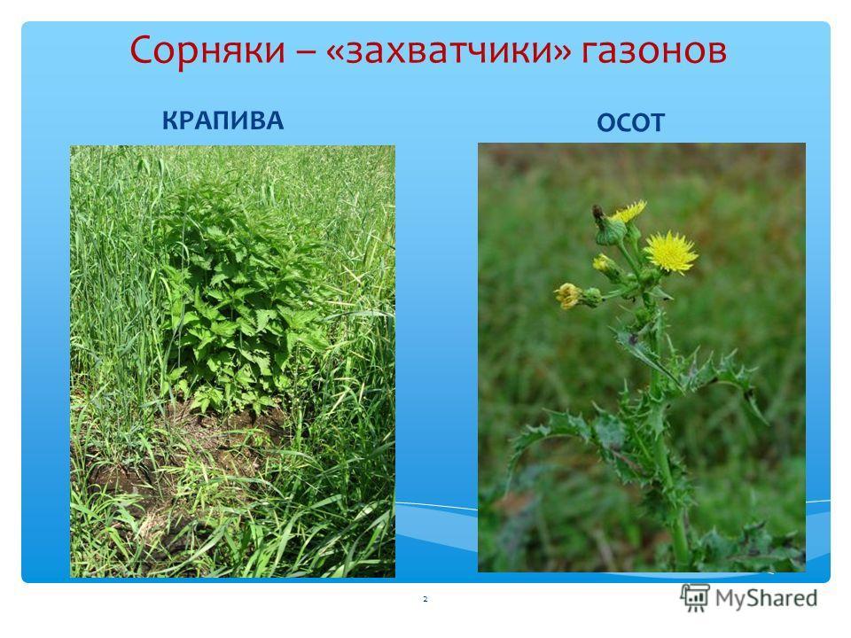 2 Сорняки – «захватчики» газонов КРАПИВА ОСОТ